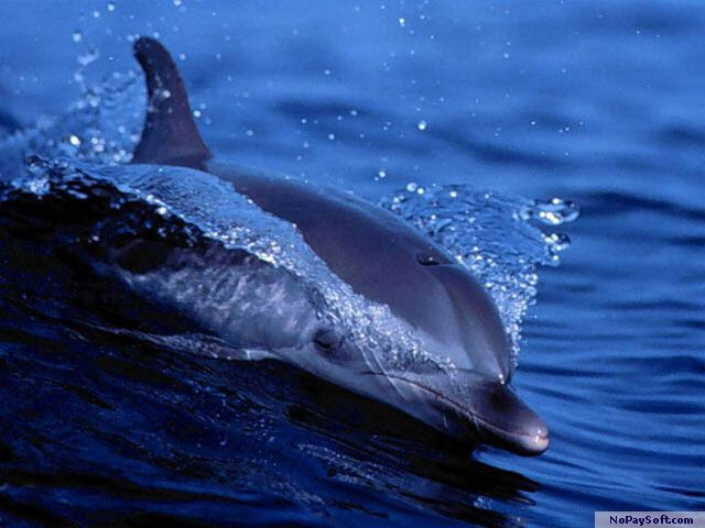 Free Living Dolphins Screensaver 1.0 program screenshot